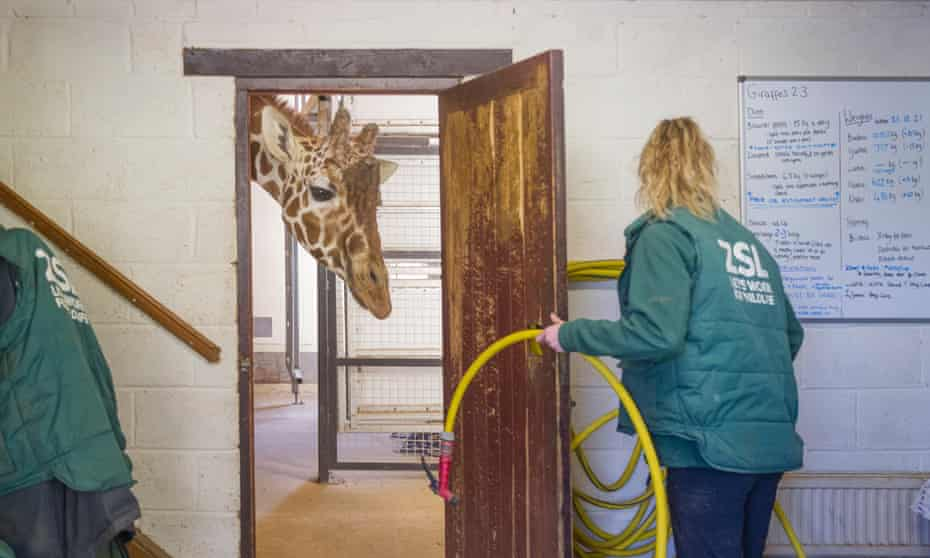 Bashu is the name of the male reticulated giraffe who was having the pedicure