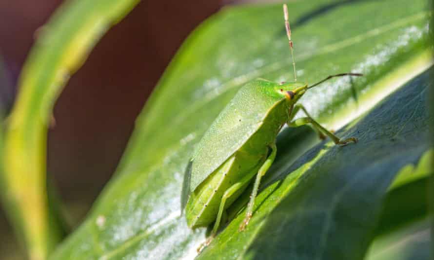 A southern green shield bug.