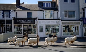 Mountain goats roam the streets of Llandudno on 31 March. They normally live on the rocky Great Orme but are occasional visitors to the seaside town, drawn this time, it is thought, by the lack of people and tourists due to Covid-19.