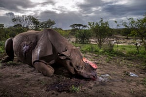 Wildlife photographer of the year winner 2017 (also wildlife photojournalist award: story category; World Press Photo, Rhine Wars, nature category, first prize stories)Memorial to a Species by Brent Stirton, South Africa.The killers were probably from a local community. Entering the Hluhluwe Imfolozi game reserve at night, they shot the black rhino bull using a silencer. Working fast, they hacked off the two horns and escaped. The horns would have been sold to a middleman and smuggled out of South Africa to China or Vietnam.