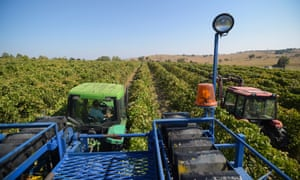 A worker drives a mechanical wine harvester through a vineyard outside Canberra