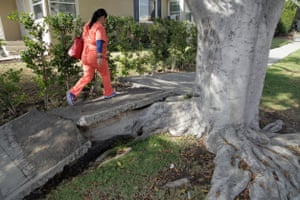 A pedestrian walks over the pavement in the Rancho Park area of Los Angeles. Many damaged sidewalks are the result of overgrown, expansive tree roots
