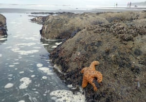 An Ochre sea star (<em>Pisaster ochraceus</em>), also called starfish, in the tidepools of Kalaloch beach 3 in the Olympic national park, near Forks, Washington