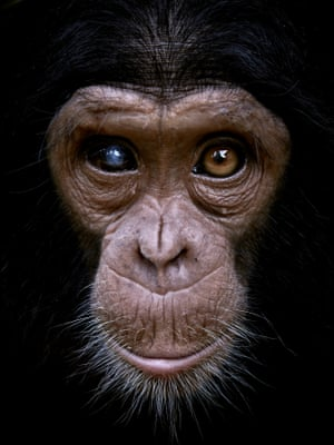 Felix, a baby chimpanzee rescued from poachers, at a centre for primates in the province of South Kivu