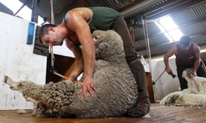 Shearers at Meadowlea Sheep Station in Kangaroo Island, Australia