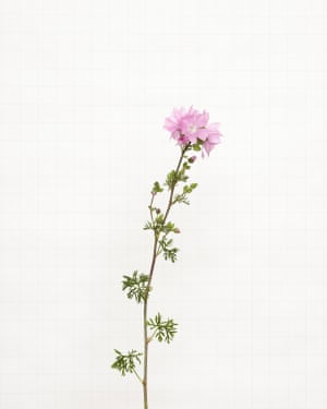 Musk Mallow wildflower photographed by Kathryn Martin