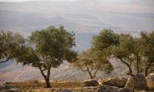 Olive trees in Palestine