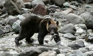A bear in a Shiretoko river in Hokkaido, Japan.