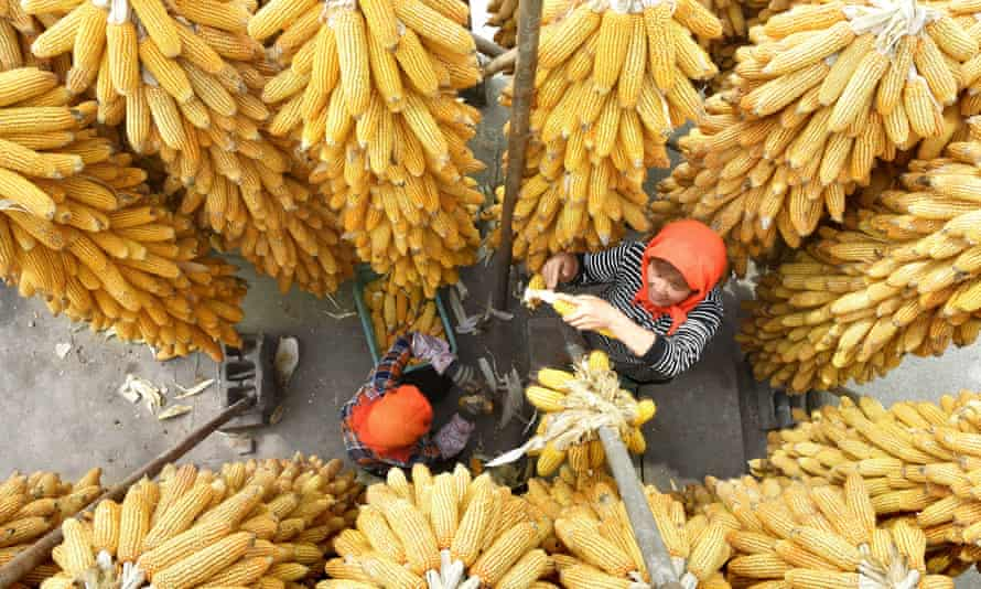 Farmers dry corn in east China's Shandong province