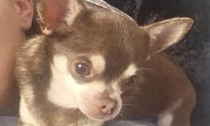 Gizmo the missing chihuahua