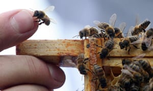 A closeup of beekeepers fingers with bees.