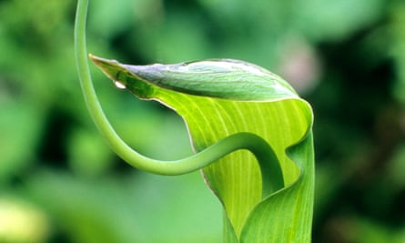 'Distinctly reptilian': the bizarre cobra lily.