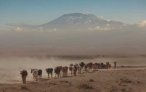 Cows under Kilimanjaro