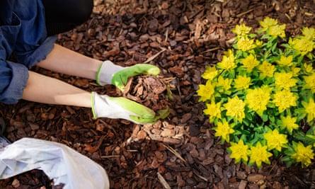 A gardener mulching a flower bed with pine tree bark mulch