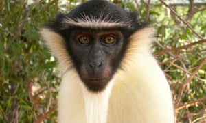 The Roloway monkey, one of the seven primate species pushed closer to extinction.