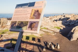 African penguins on the beach at Stony Point next to asign about leopard danger.