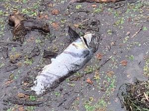 A dead fish in sludgy water