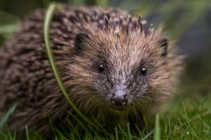A young hedgehog (<em>Erinaceus europaeus</em>) in Burley-in-Wharfedale, Ilkley, Yorkshire, England.