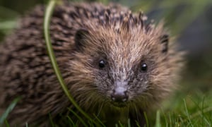 Young hedgehog in Yorkshire, England
