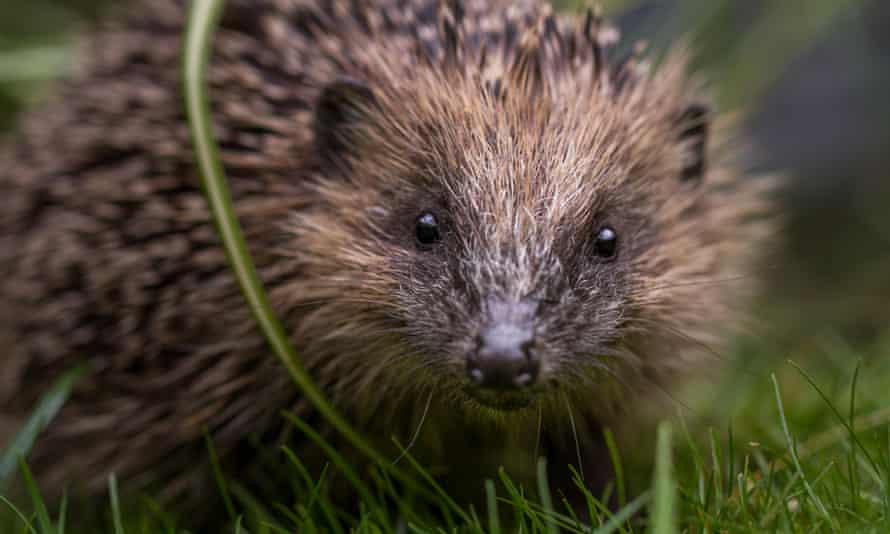 The UK hedgehog population is thought to number less than 1 million, down from more than 30 million in the 1950s.