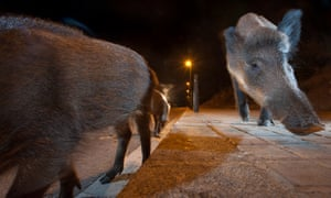 Wild boar come out at night to look for food in Barcelona, Spain.