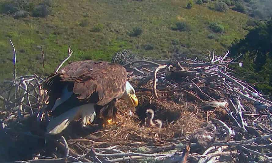 It's a word for an eagle's nest: but how do you spell it? And how do you say it?