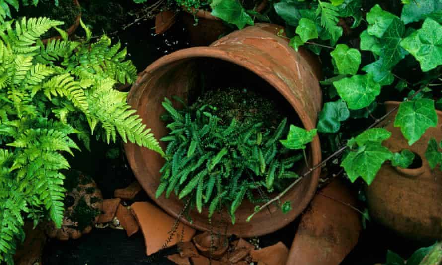 Ferns growing in a shady corner in terracotta pots
