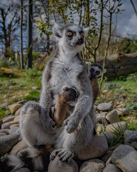 The twin lemurs, who are now venturing outside with their mother Fiona.