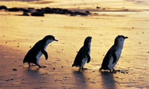 The little penguins of Phillip Island make their nightly waddle-dash across Summerlands beach.