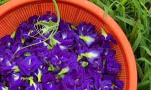 Blue butterfly pea flowers picked from Palisa Anderson's farm