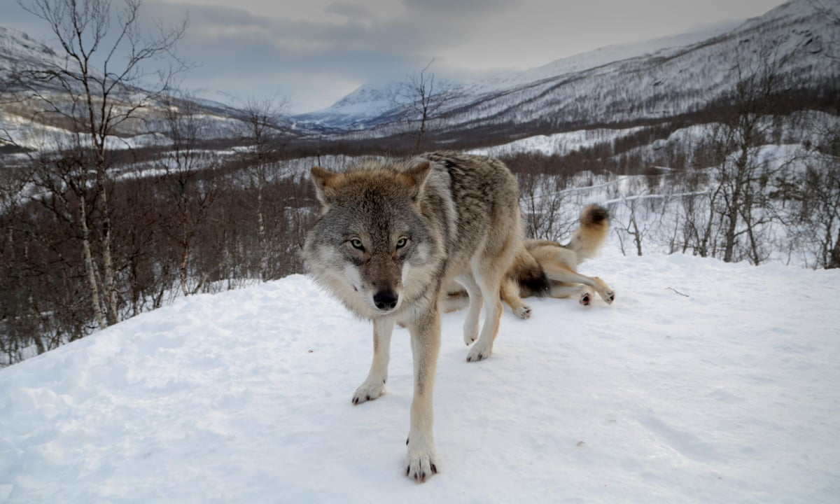 in the company of wolves animal encounters in narvik