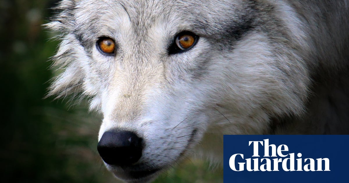 Finland Approves Wolf Hunt In Trial Cull