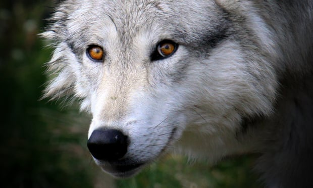 POLL: Should the wolf cull in Finland be stopped?