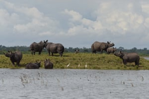 Indian one-horned rhinos take shelter in an area of high land during a flood in Kaziranga national park in Assam, India, July 2017