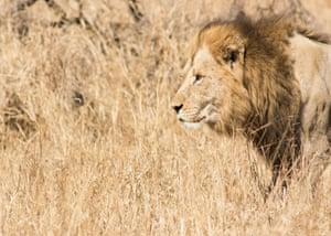 A wild lion in the Kruger national park