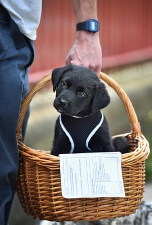 Puppy powerDuke, an eight week old Labrador Collie sits in a basket with his owner's EU referendum polling card outside Notre Dame Primary School in Glasgow