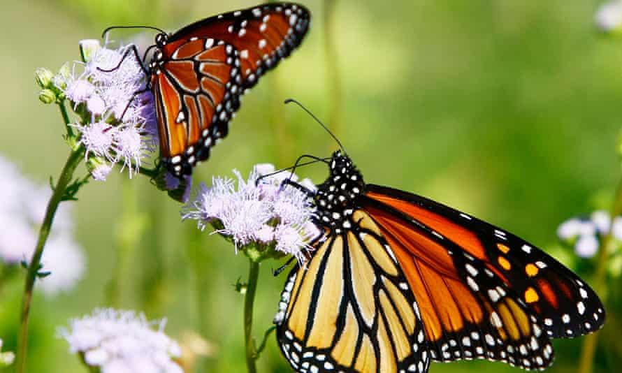 Two orange butterflies on purple flowers in a green field