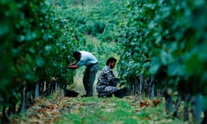 Harvesters at work in France's Languedoc region