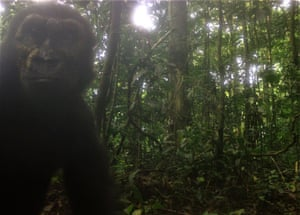 Wild western lowland gorillas have been pictured in central Rio Muni, Equatorial Guinea, for the first time in more than a decade in a project spearheaded by Bristol Zoological Society. Images caught by camera traps show curious young gorillas deep in their jungle home.