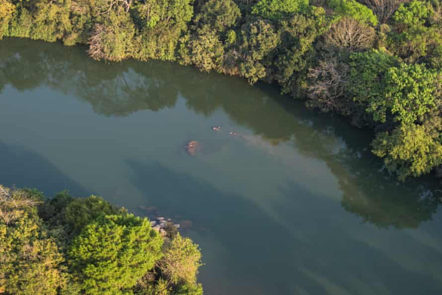A pod of hippos is spotted in the river.