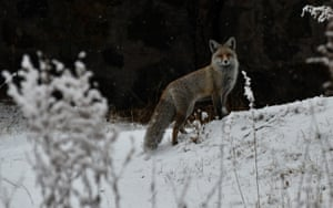 A fox in the Sarıkamış district of Kars province, Turkey.