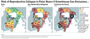 Risk of reproductive collapse in polar bears - graphic