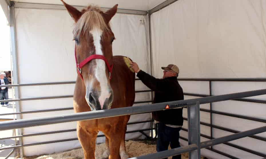Jerry Gilbert brushes Big Jake at the Midwest Horse Fair in Madison, Wisconsin, in 2014.