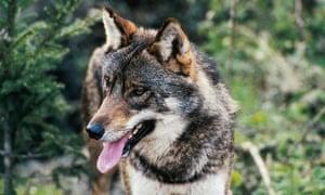 An Italian wolf.