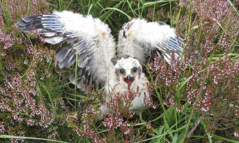 Hen harrier in Scotland
