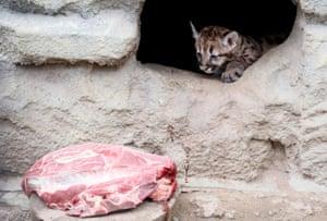 Krasnoyarsk, Russia A one-month-old north American cougar cub