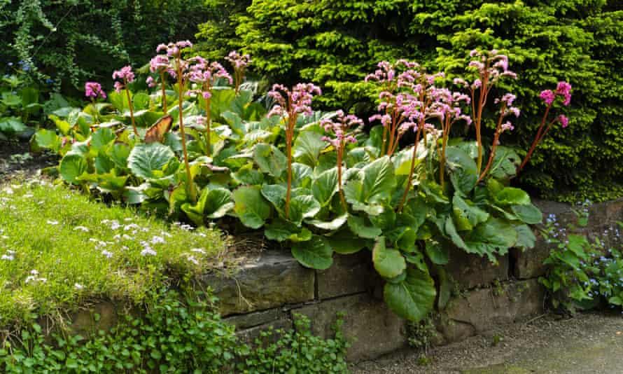 Heart-leaf bergenia