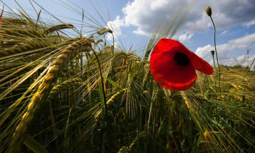 poppy in a barley field