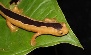 Jackson's climbing salamander.