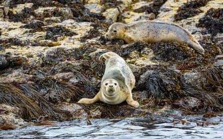 Grey seals on the Farne Islands, Northumberland